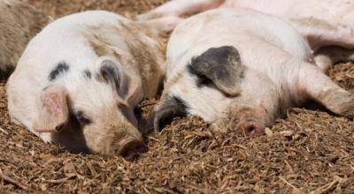 Pesta porcină - Care este situația actuală?
