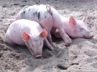 Actualizarea situaţiei privind evoluţia Pestei Porcine Africane