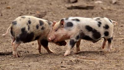 Pesta Porcină Africană confirmată în două gospodării din județul Buzău