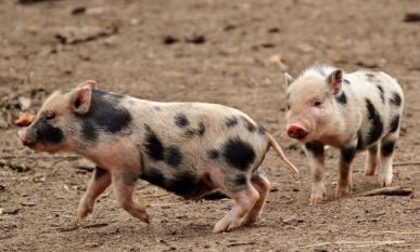 Precizări ANSVSA privind restricțiile impuse în zonele unde evoluează Pesta Porcina Africana