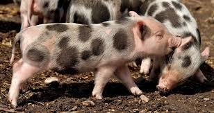Confirmarea prezenței virusului Pestei Porcine Africane într-o gospodărie din localitatea Brăniştari, comuna Călugăreni, judeţul Giurgiu