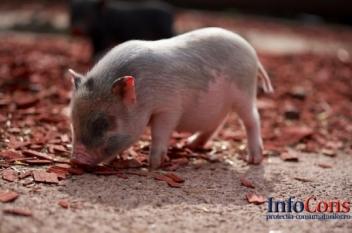 Pesta Porcină Africană confirmată la porcii dintr-o gospodărie din localitatea Ieud, județul Maramureș