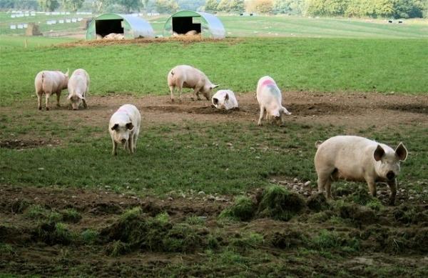 Pesta Porcină Africană confirmată într-o gospodărie din județul Vrancea