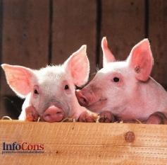 Pesta Porcină Africană confirmată la un porc dintr-o gospodărie din judeţul Dolj
