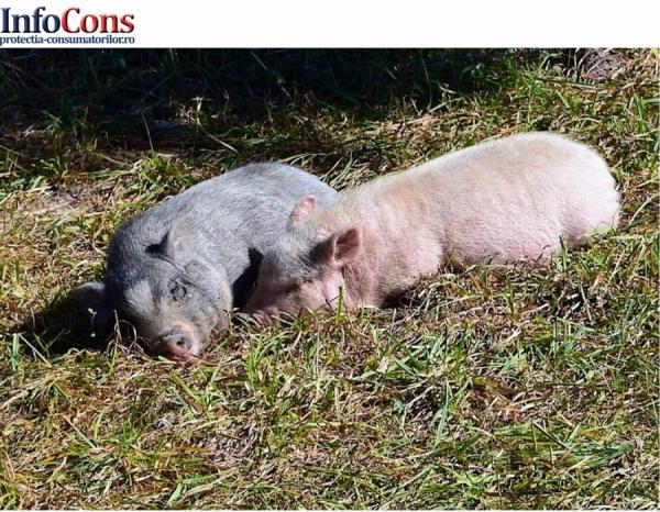 Pesta Porcină Africană confirmată în judeţul Argeș