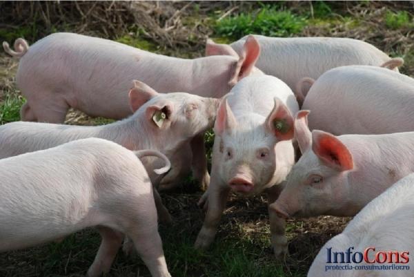 Pesta Porcină Africană confirmată într-o gospodărie din localitatea Rusănești, județul Olt