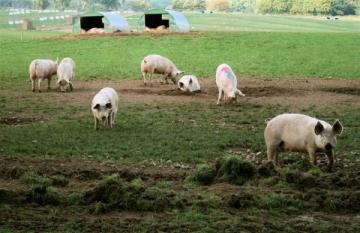 Virusul Pestei Porcine Africane depistat la porci mistreți de pe un fond de vânătoare din județul Bistrița-Năsăud