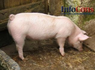Confirmare pestă porcină africană în județele Timiș și Arad