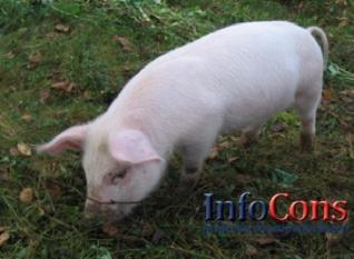 Pestă porcină africană a fost confirmată într-o gospodărie din județul Covasna