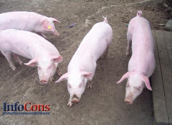 Precizări ANSVSA cu privire la modalitățile de transmitere ale virusului pestei porcine africane