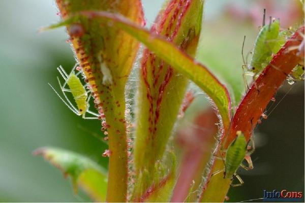 Sănătatea plantelor: prioritizarea luptei împotriva a 20 de dăunători de plante de carantină pe teritoriul UE