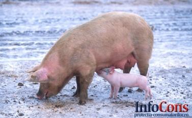 Misiune de audit din partea Organizației Mondiale pentru Sănatate Animală privind pesta porcină clasică