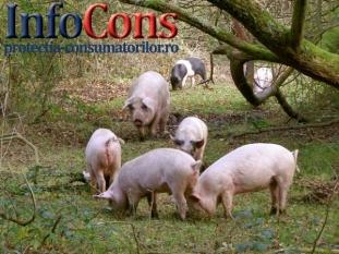 ATENȚIE la Pesta porcină Africană